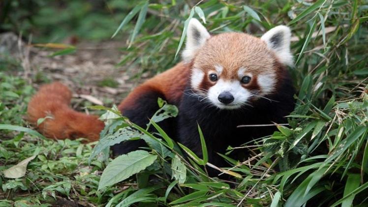 Photo of West Sikkim: Red Panda Sanctuary